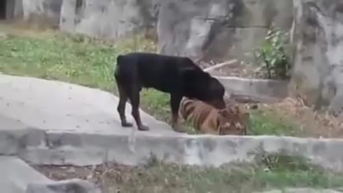 Rottweiler And Lion Playing Together